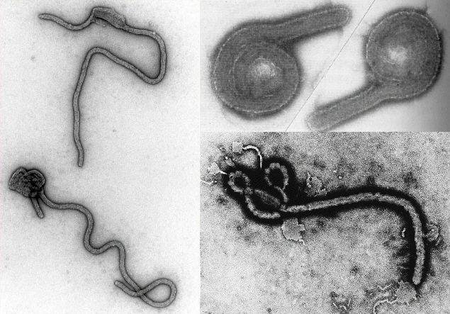 Die Stämme von Ebola-Virus