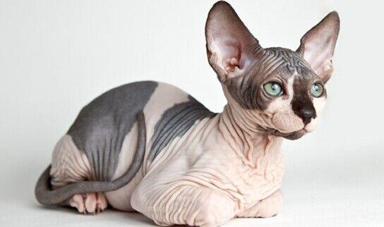 Seltene Rassen von Katzen