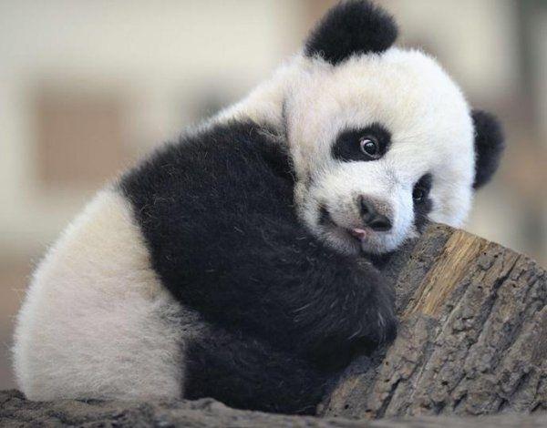 Panda Top 15 Fakten